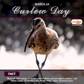 Online Editable Curlew Day March 16 Social Media Post